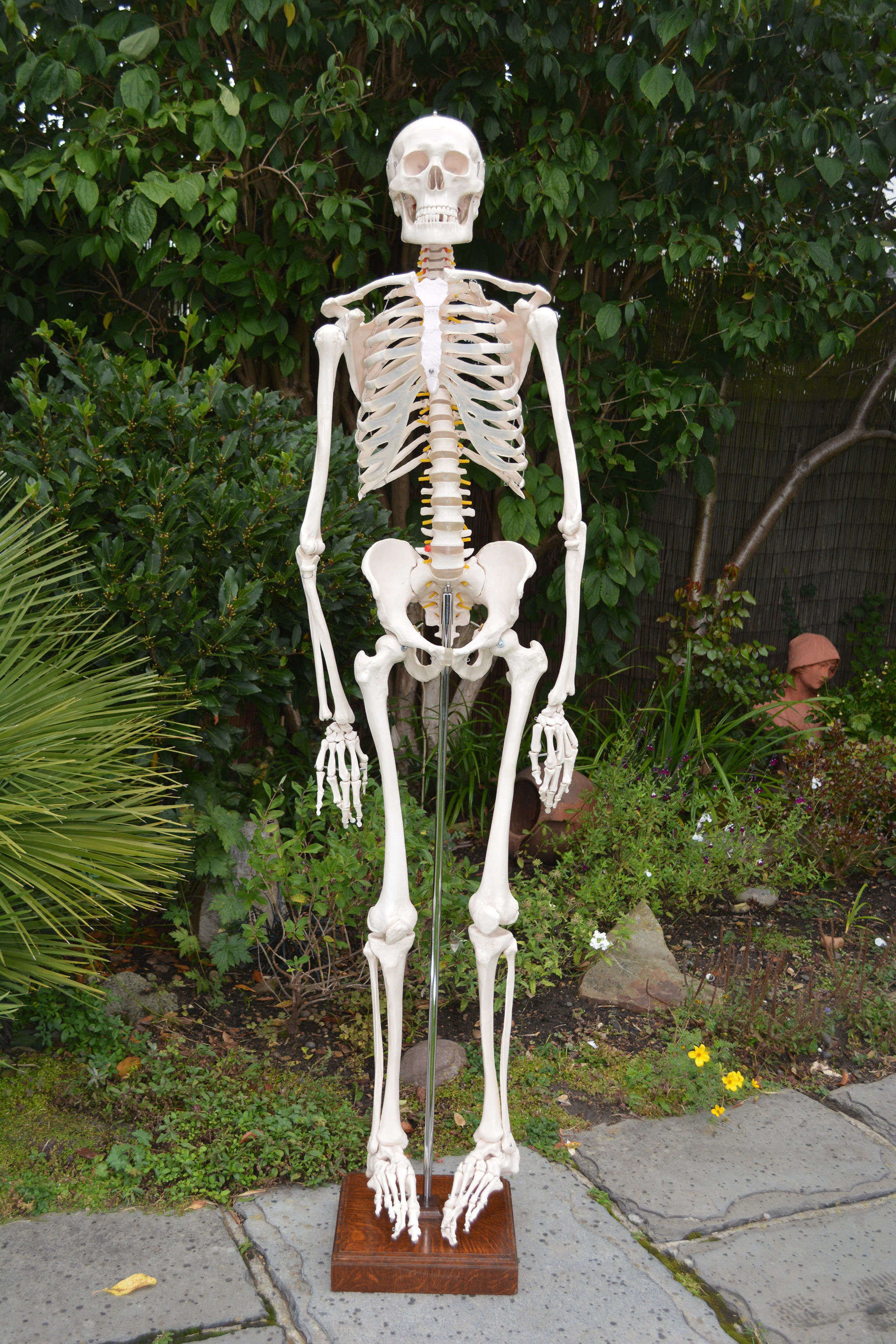 Vintage articulated anatomical life size human skeleton on stand